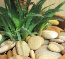 Aloes - jakie ma właściwości zdrowotne?
