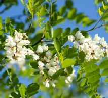 Nalewka z kwiatów akacji